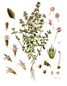 Thymus vulgaris. bron: wikipedia