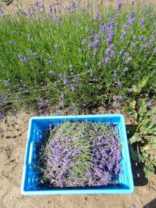 de lavendel gaat in kratten