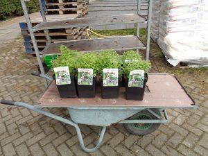 aromatische planten van Puur Aroma staan klaar voor de verkoop