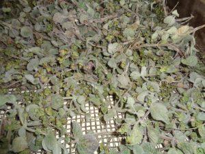 gedroogde Kreta oregano ofwel Origanum dictamnus